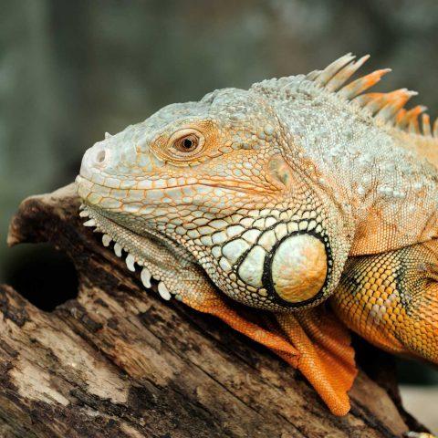 iguana-PU72TXM.jpg