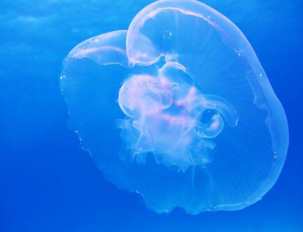 moon-jellyfish-aurelia-aurita-schirmqualle-66321.jpeg