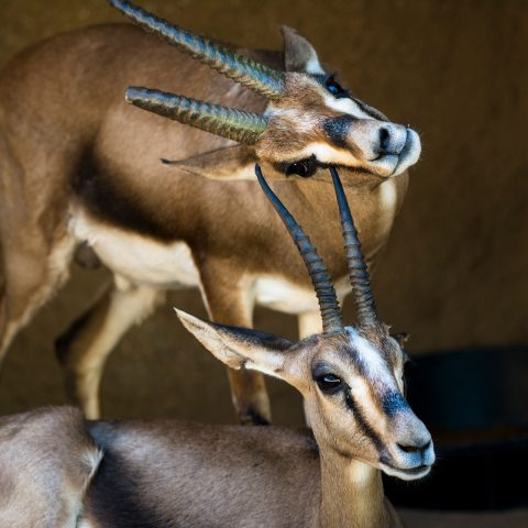 two-wild-gazelles-PWTD2HU.jpg
